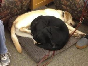These two dogs (Bamboo is the black labrador female and Corbett is the yellow labrador male) just LOVE to cuddle up with each other and love on each other. They stole Corbett's owner's seat cushion.
