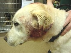 (From GuideDogs.org) One of the many injuries this particular guide dog got from an attack.