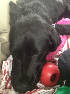 Makiko in the car on the seat on the long drive. She has a kong right next to her. She is laying on a sheet and a pink blanket.