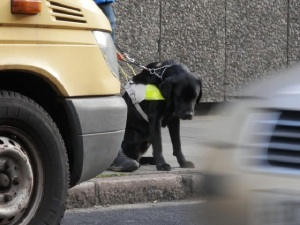A guide dog stopping at a curb to alert its handler that there is an electric/silent car ahead.