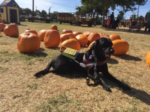 Makiko, a black Labrador, is positioned in front of a lot of pumpkins in a field. She is in harness and looking off into the distance to the right.