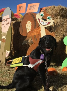 Makiko, black lab, seated in harness in front of a squirrel and turtle cardboard cut out, with pumpkins. Her tongue is sticking out due to the heat.